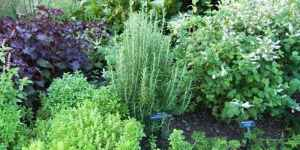 rosemary and other herbs growing in a garden